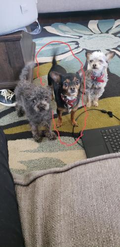 Lost Female Dog last seen Willett Dr, Portsmouth, VA 23707
