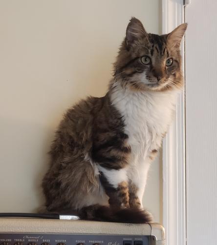 Lost Male Cat last seen Petunia path and Roadside ln, Chesapeake, VA 23325