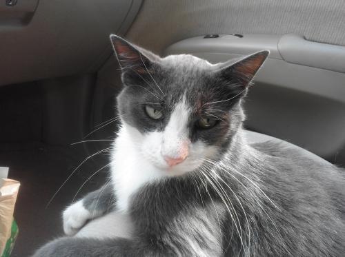 Lost Male Cat last seen Alpine & Springfield in Fairfax Hills, Raleigh, NC 27609