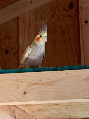 Lost Female Bird last seen Near broadwindsor cresent near hillwell , Chesapeake, VA 23322