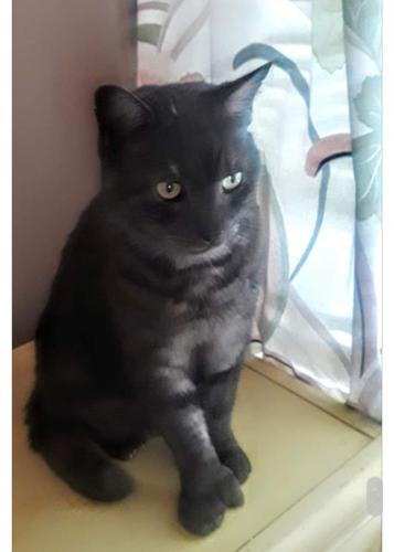 Lost Male Cat last seen E 260 and Zeman, Euclid, OH 44132