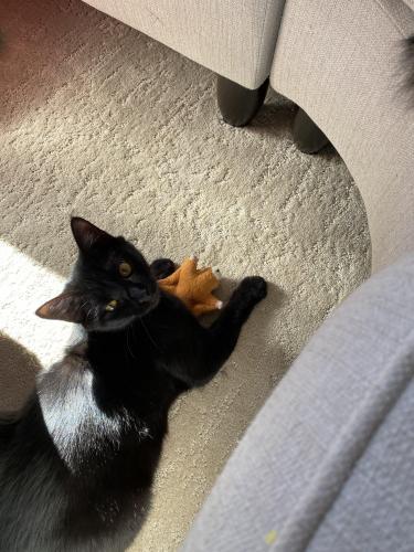 Lost Female Cat last seen FAUQUIER SPCA, Fauquier County, VA 22728