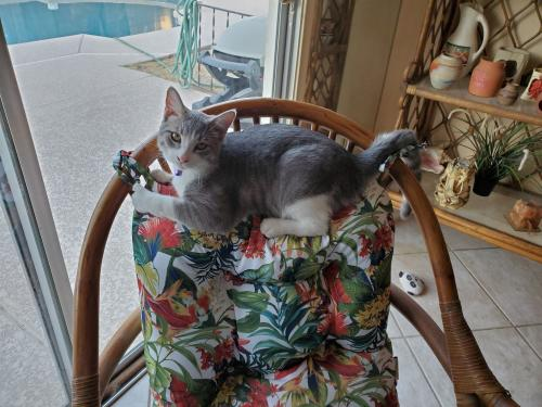 Lost Male Cat last seen N 32nd St and Sweetwater , Phoenix, AZ 85032