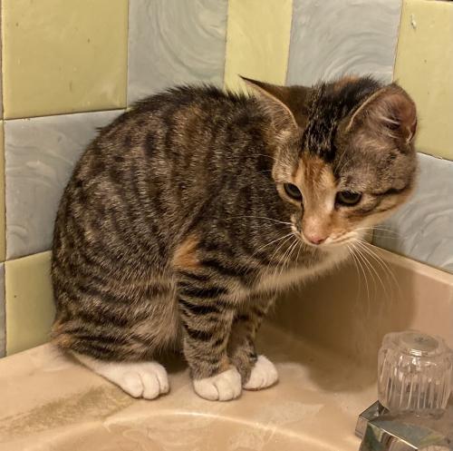 Found/Stray Female Cat last seen Findley Street / Findley Square, Hampton, VA 23666