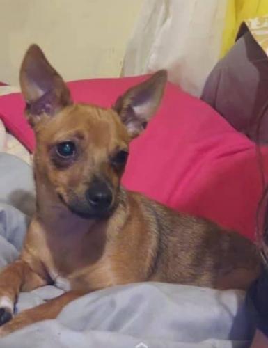 Lost Female Dog last seen Breckenridge apartments, Houston, TX 77060