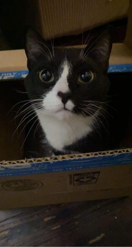 Lost Male Cat last seen Pine St , Hamilton, OH 45011