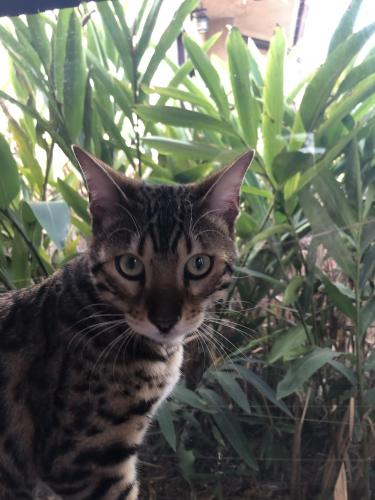 Lost Male Cat last seen Berkshire ave/ valley view, South Pasadena, CA 91030