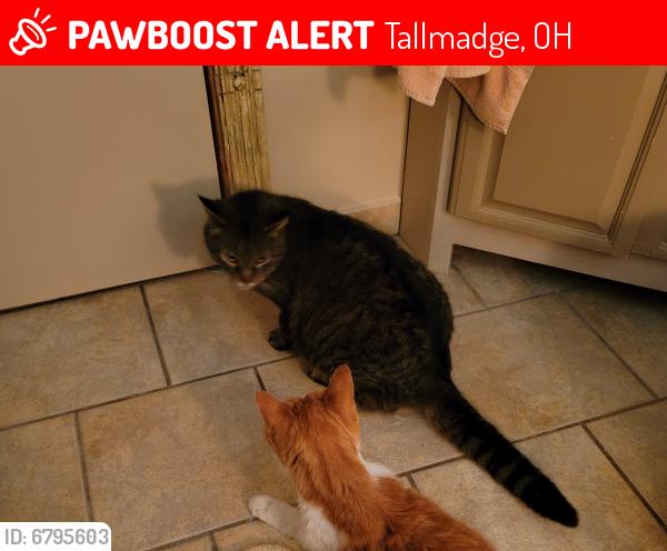 Lost Male Cat last seen Near Perry Rd, Tallmadge 44278, Tallmadge, OH 44278