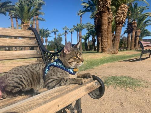 Lost Male Cat last seen Near avenue and thunderbird, Peoria, AZ 85381