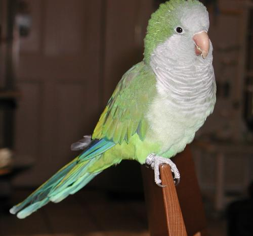 Lost Male Bird last seen Kentland Ave @ Falmouth Ave, Springfield, VA 22150, Springfield, VA 22150