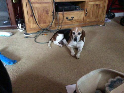 Lost Female Dog last seen Doeskin Drive and Venison DriveFredericksburg, Va, Salem, VA 22407