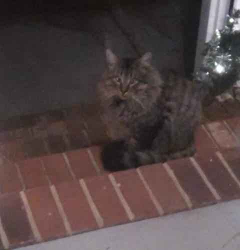 Found/Stray Male Cat last seen Larkspur, Portsmouth, VA 23703