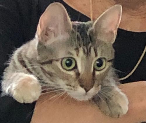 Lost Female Cat last seen N Eldridge & Cypress N Houston, Harris County, TX 77065
