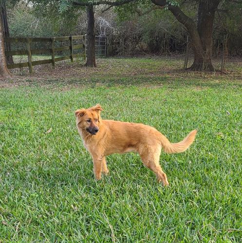 Found/Stray Female Dog last seen Alma and Raymond, Tomball, TX 77375