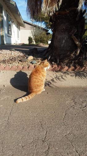 Lost Male Cat last seen Bell Road and 32nd Street, Phoenix, AZ 85032