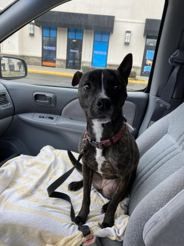 Found/Stray Female Dog last seen Foxwoods Dr. Closest major intersection South Plaza and Holland Rd, Virginia Beach, VA 23462