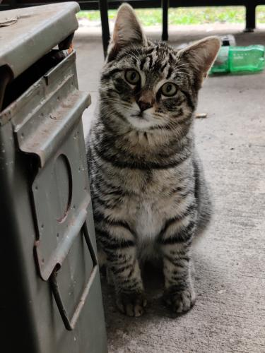 Found/Stray Unknown Cat last seen Kuykendahl and Louetta, Spring, TX 77379