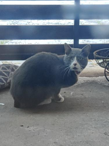 Found/Stray Unknown Cat last seen Kuykendahl and Cypresswood, Spring, TX 77379