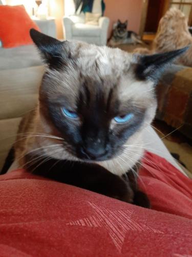 Lost Male Cat last seen 4th Street and Topeka or Taro, Phoenix, AZ 85013