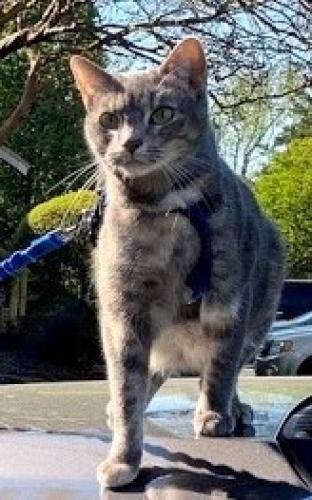 Lost Female Cat last seen 14th and Cypress, Virginia Beach, Virginia Beach, VA 23451
