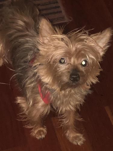 Lost Female Dog last seen 183-11 144th Avenue spring field, my , Queens, NY 11413