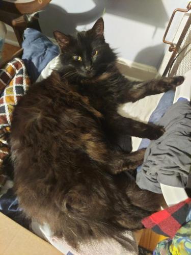 Lost Male Cat last seen Laurel and Lafayette , Battlefield, VA 22408