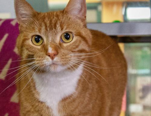 Found/Stray Unknown Cat last seen On Prospect Ave near Butte Des Mets Golf Course, Appleton, WI 54914