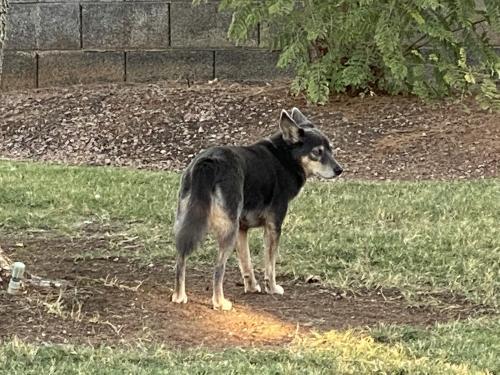 Lost Female Dog last seen Greenfield and Warner, Gilbert, AZ 85296