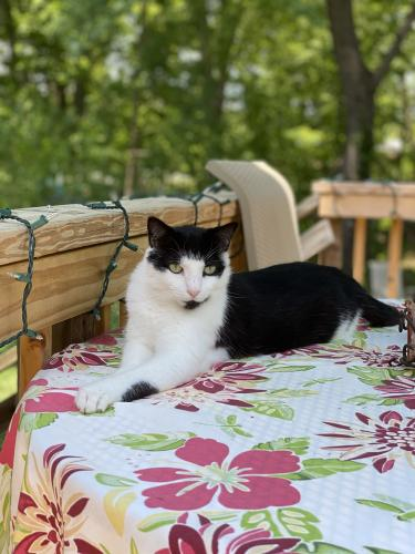 Lost Male Cat last seen Hayfield Farm, kingsbury rd & helmsdale ln, coast guard station, Alexandria, VA 22315