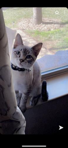 Lost Male Cat last seen May Valley Circle.. Sterling Ridge Neighborhood , The Woodlands, TX 77354