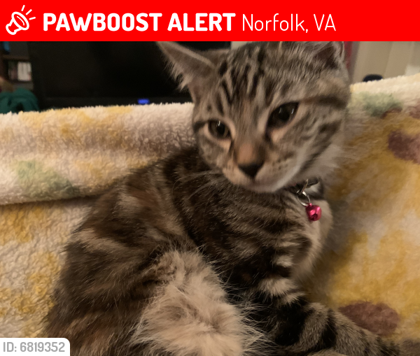Lost Female Cat last seen 21st street and colley ave, Norfolk, VA 23517
