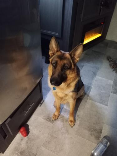 Lost Male Dog last seen FM 2920 & Telge road, Tomball, TX 77377