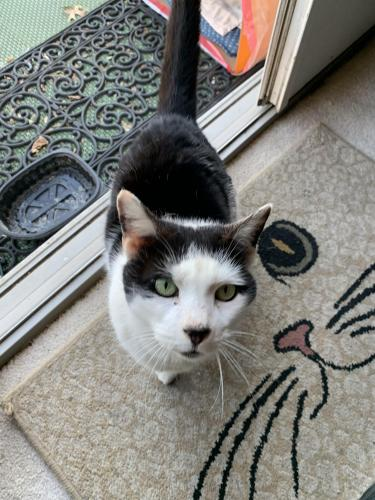 Found/Stray Male Cat last seen Meridian Road, Levittown, NY 11756