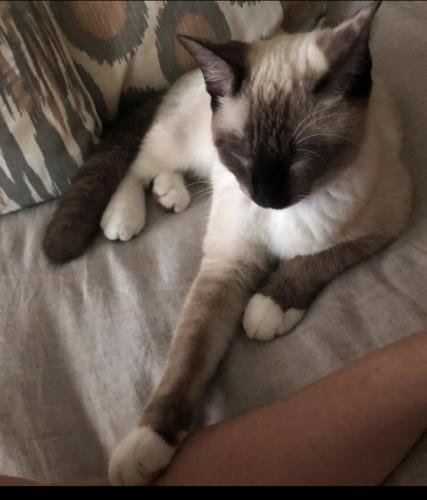 Lost Male Cat last seen Willow Fairway section of Stone Gate, Houston, TX 77095