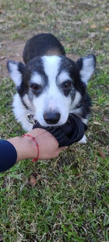 Found/Stray Male Dog last seen Cypresswood & KUYKENDAHL , Spring, TX 77373