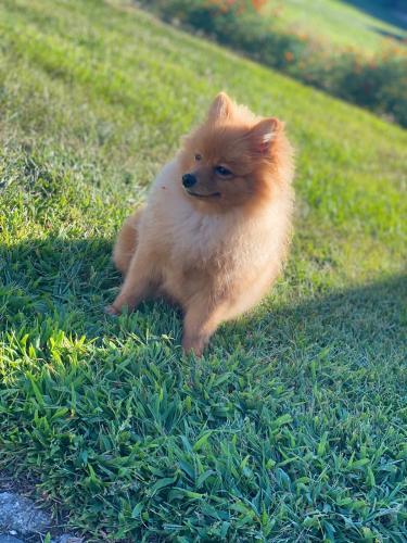 Lost Female Dog last seen Lehigh ln Hicksville , Hicksville, NY 11801