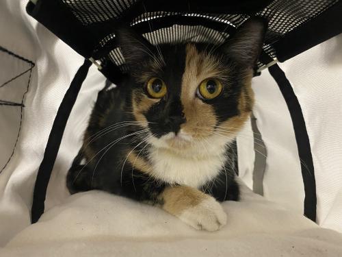 Found/Stray Female Cat last seen McSwain Rd/Kluge Rd, Cypress, TX 77429