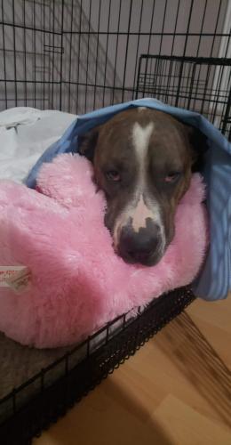 Lost Female Dog last seen Oak West Dr. Houston Texas 77073, Houston, TX 77073