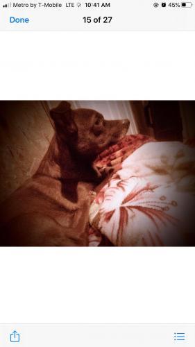 Lost Male Dog last seen 95th and Washington, Tolleson, AZ 85353