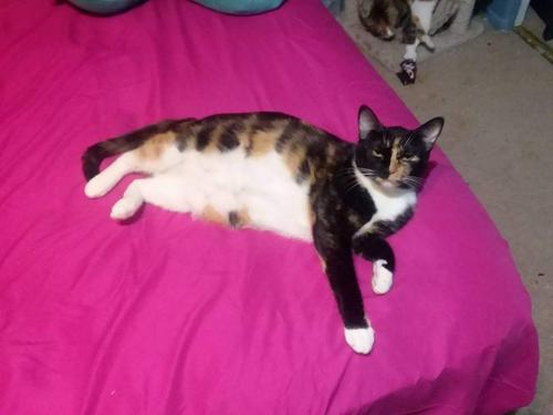 Lost Female Cat last seen Cactus and 51 ave, Glendale, AZ 85304