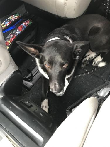 Lost Male Dog last seen Lakewood Forest and Moorcreek dr, Houston, TX 77070