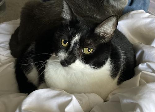 Lost Female Cat last seen 12th Street and Glendale Rd, Phoenix, AZ 85014