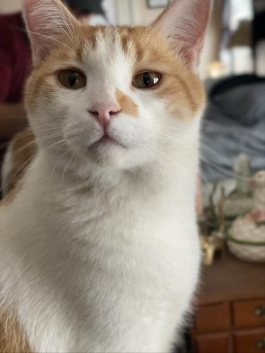 Lost Male Cat last seen 75th ave and cactus , Peoria, AZ 85345