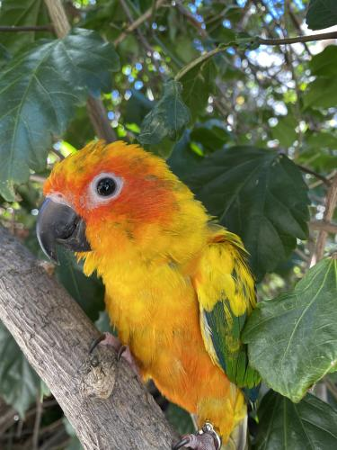 Lost Female Bird last seen Wilshire Blvd and Wellesly Ave in W. LA, Los Angeles, CA 90025