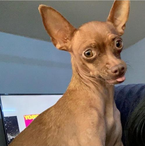 Lost Female Dog last seen Pincbot Ave and 61st ave, Phoenix, AZ 85033