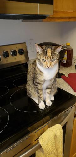 Lost Female Cat last seen Boulder hwy. And kentucky, Las Vegas, NV 89122