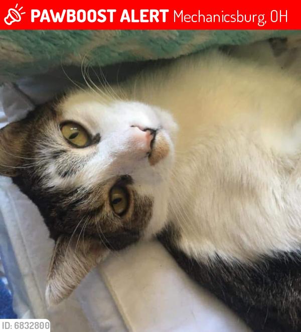 Lost Male Cat last seen Near pleasantview dr, Mechanicsburg, OH 43044
