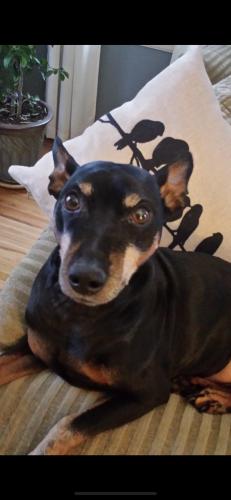 Lost Male Dog last seen 6th Ave sw Austin mn , Austin, MN 55912