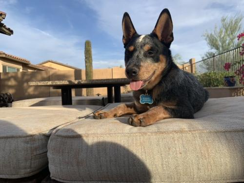Lost Male Dog last seen Medina near construction off Willis rd, Goodyear, AZ 85338