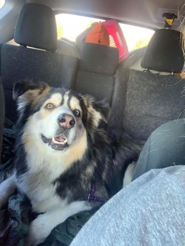 Found/Stray Female Dog last seen Vegas valley and lamb, Sunrise Manor, NV 89121